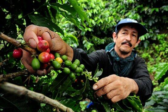 Agriculteur, producteur de café recolté à la main, Torino Vintage Café favorise les exploitations familiales et les methodes naturelles