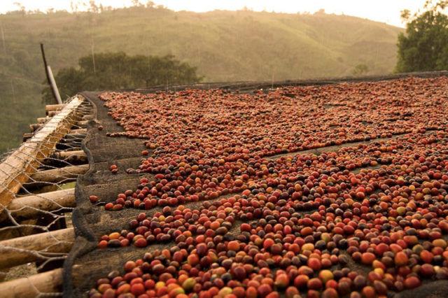 sechage au soleil des cerises de café, methode de production naturelle afin de préserver les arômes, Maître torréfacteur