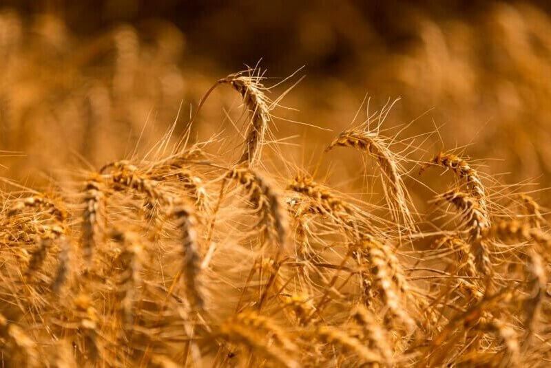 Champs de blé, farine biologique, ingredients naturels et recettes anciennes, le savoir-faire Torino Vintage Café